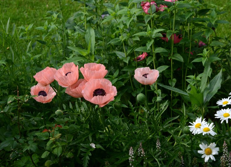 More oriental poppy in salmon color