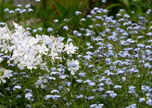 White Woodland Phlox migles with Forget-Me-Not