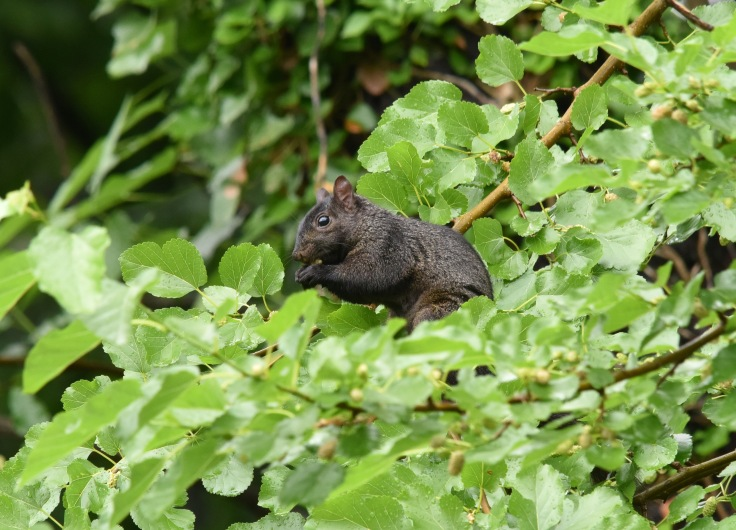 And the black squirrel