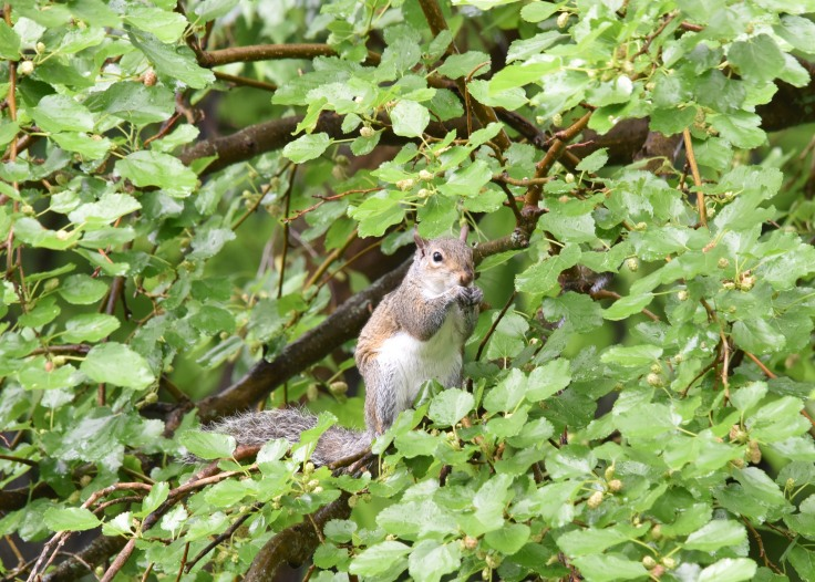 Can't forget the Gray squirrel