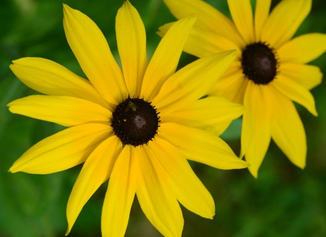 Self-seeded Black-eyed susan