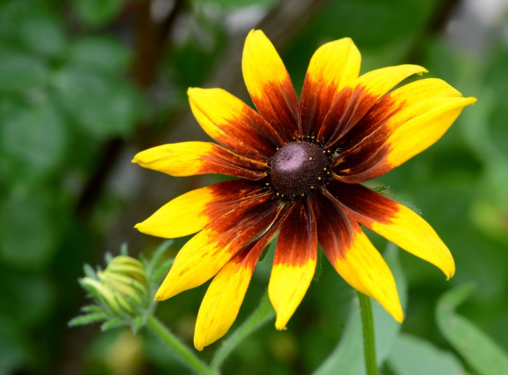 Another Black-eyed susan with brown radiant