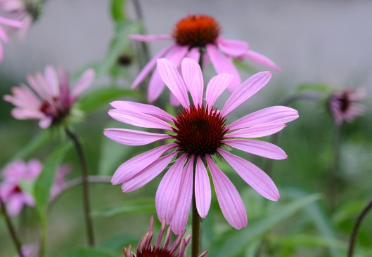 Plenty of Echinacea this year