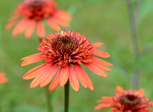 Echinacea-Coral Reef