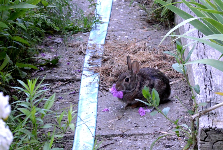 A suspect, Cottontail rabbit, with a mouthful of Garden Phlox