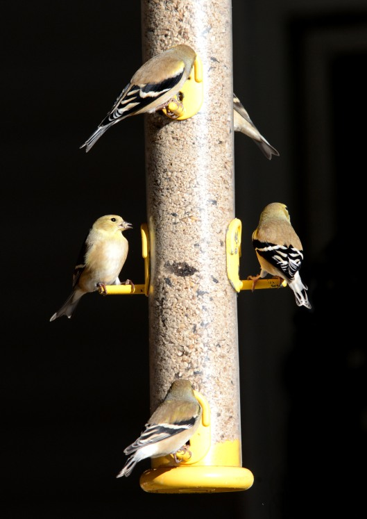 American goldfinch in winter coat