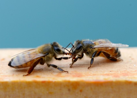 A clean bee takes sugar syrup from a bee with legs and wings smeared with syrup