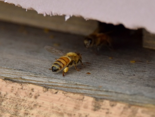 One lone bee in front of the third hive