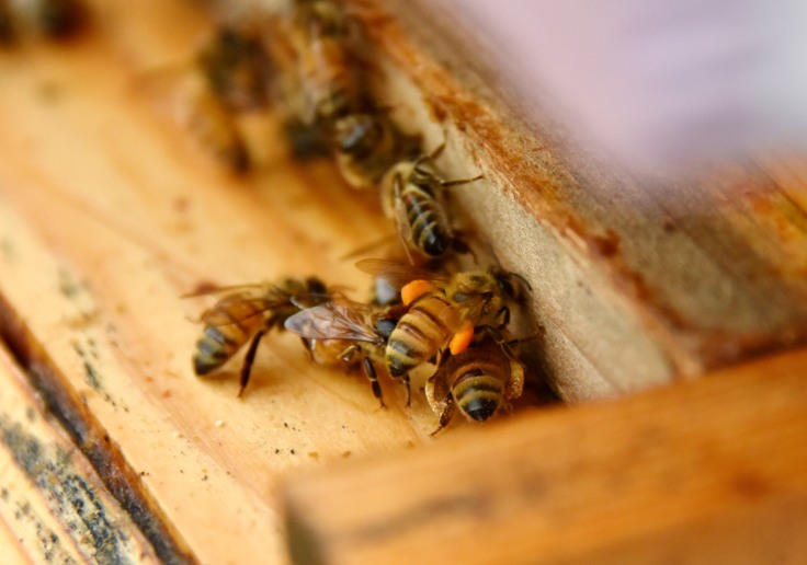 Bees bringing pollen into the first hive