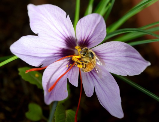 Honeybee collecting pollen from saffron flower