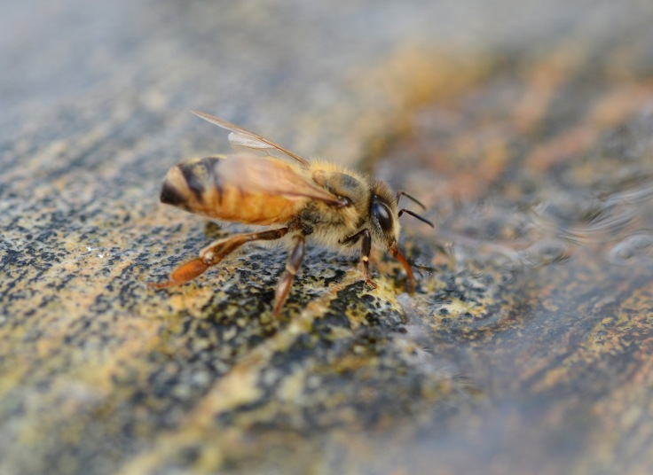 Honeybee drinking water perched on a stone in a birdbath. I leave a stone in each bird bath to serve as a landing