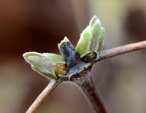Clematis 'Crystal Fountain' is budding