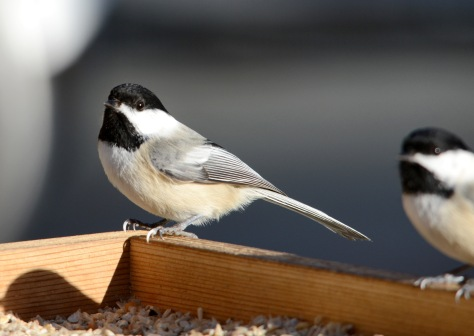A pair of Chickadees at the feeder