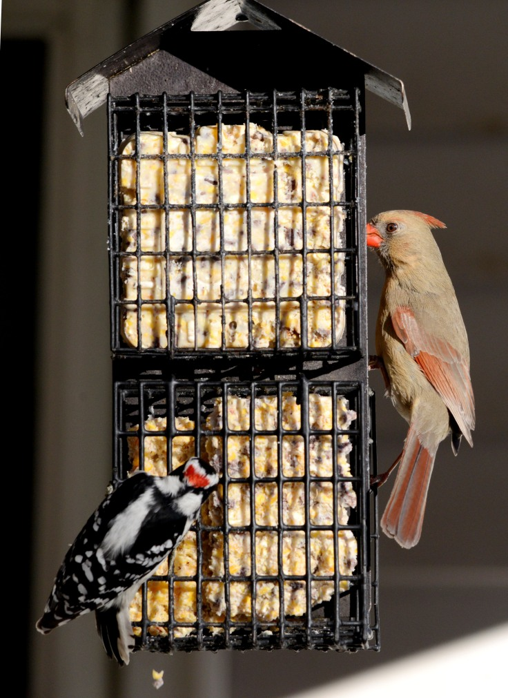 Female Northern Cardinal shares a suet feeder with a male Downey Woodpecker