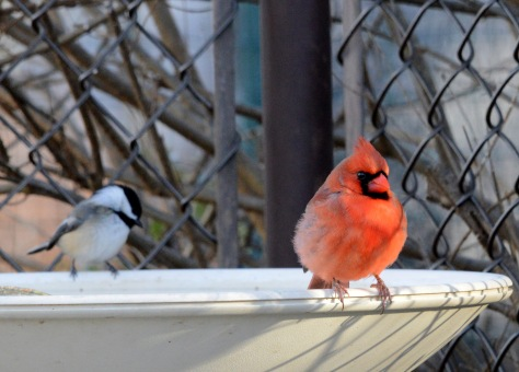 Male Northern Cardinal sharing a heated birdbath with a Chickadee