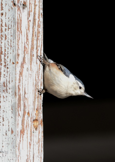 White-breasted Nuthatch waiting his turn