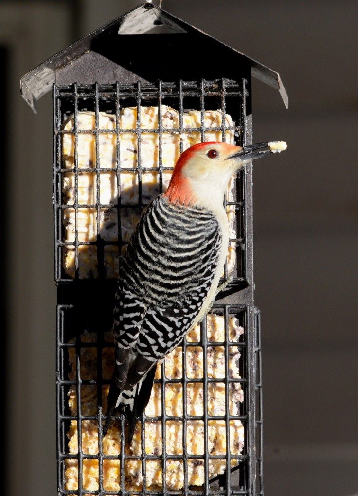 Male Red-bellied Woodpecker ready to take off with a beak full of suet
