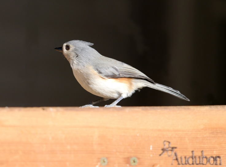 Another friendly Titmouse on a feeder