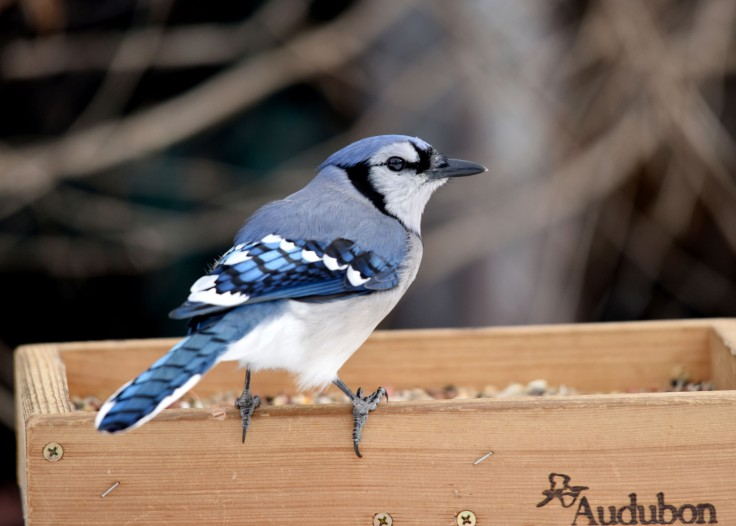 Beautiful, intelligent Blue Jay