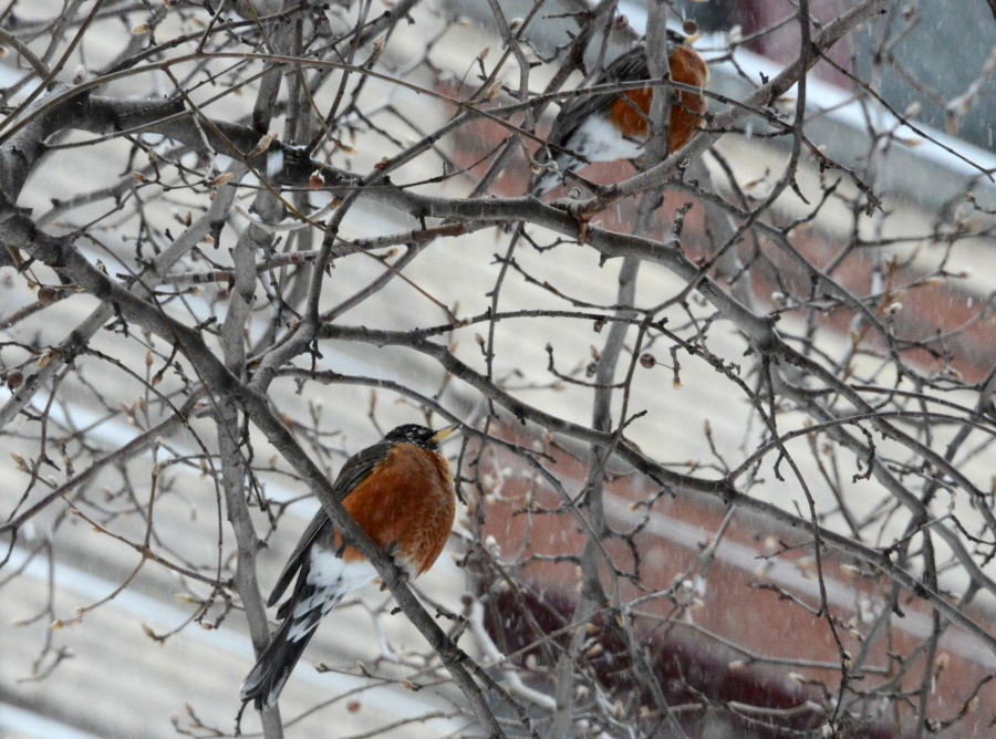 Two Robins on a cherry tree in NYC