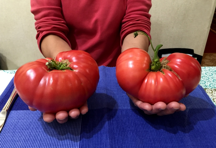 These Brandywine tomatoes were over a pound each and very tasty too