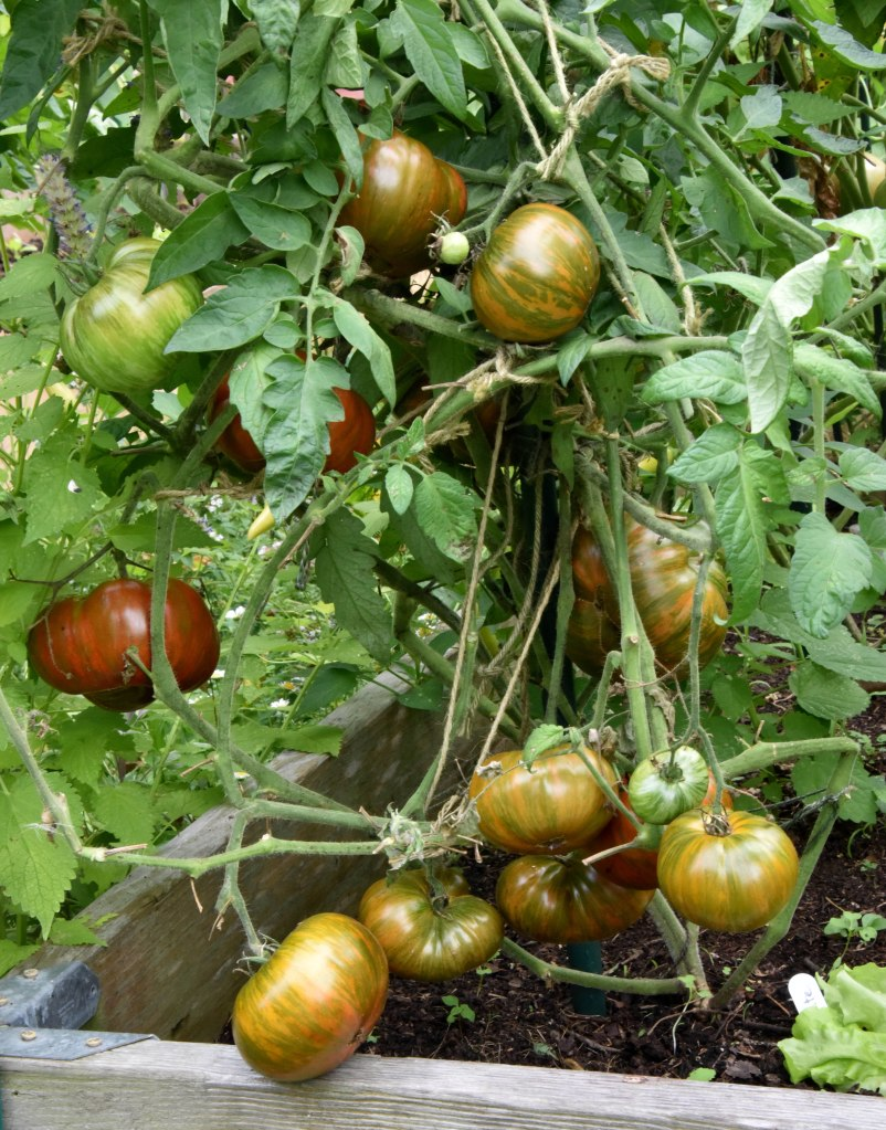 I bought one Chocolate tomato at the Union Square Farmers market in 2014 because of its color, but it tasted so good that I kept the seeds. The ripe fruit has a reddish brown color with green stripes that drew my attention initially.