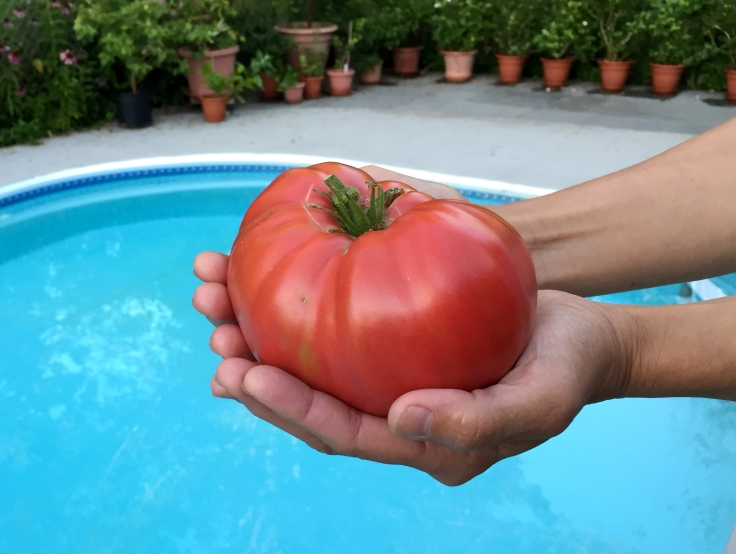 Mortgage lifter is another large tomato we have been growing. This one is also over a pound