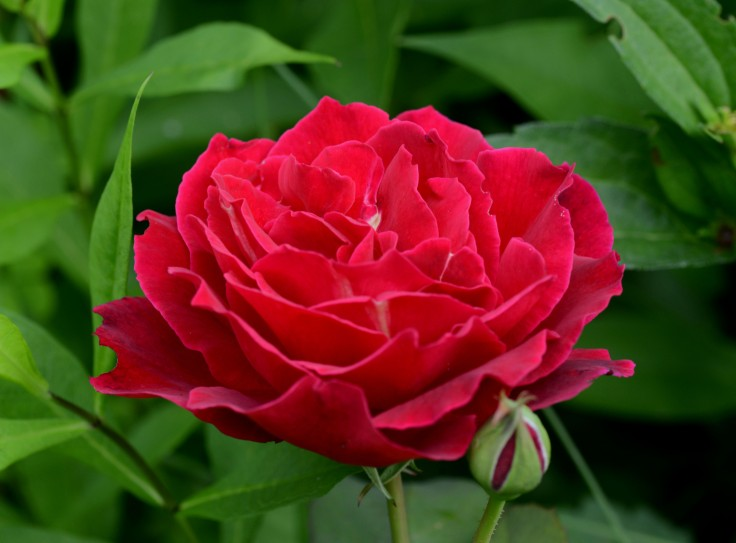 Hybrid Tea rose 'Mr. Lincoln'