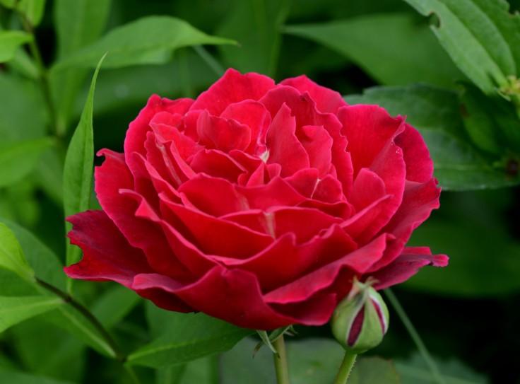 Hybrid Tea rose 'Mr. Lincoln'