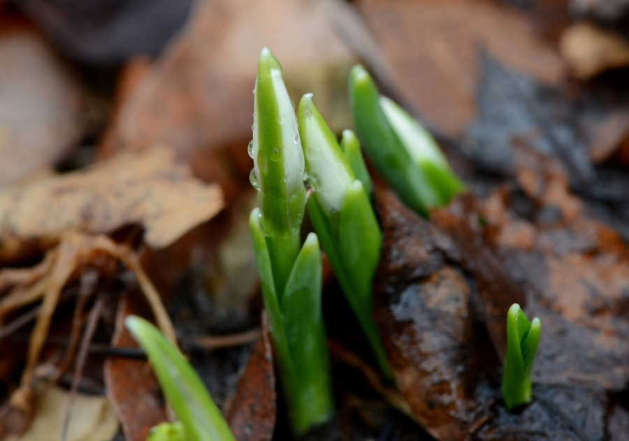 Some Snowdrops just came up