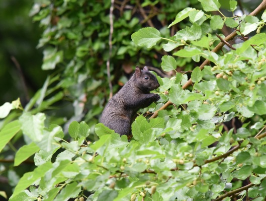 Melanistic Eastern Gray squirrel enjoyed mulberries in the garden last summer