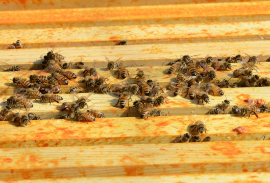 Hive#3, the smallest, the bees only gather in the middle four frames of both supers