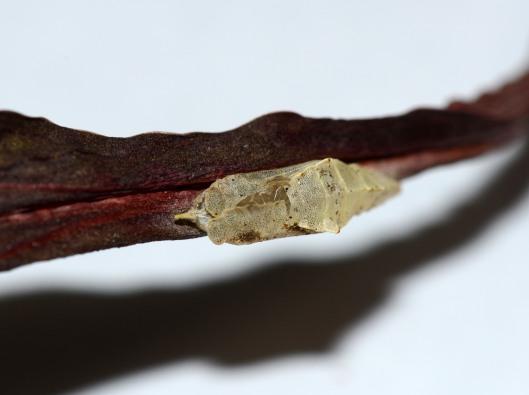 An empty chrysalis he left behind