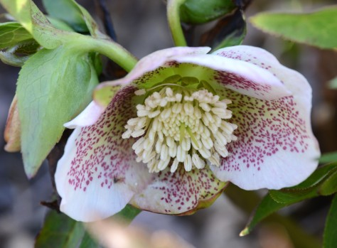 Helleborus came up earlier and got freeze burn