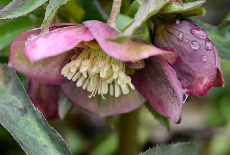 Helleborus /burgundy