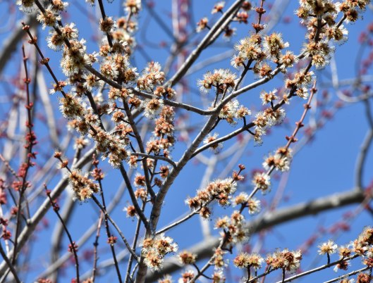 Silver maple flowers provide plenty of pollen and nectar in very early spring
