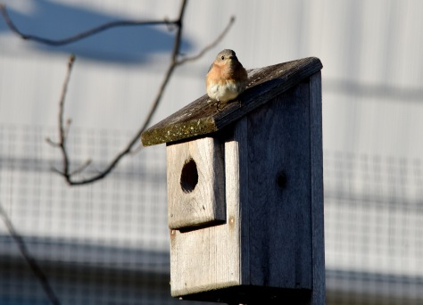 The female Bluebird says otherwise