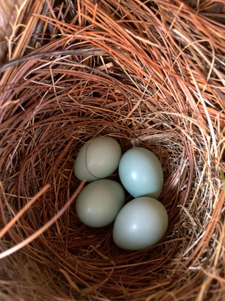 Four little blue eggs