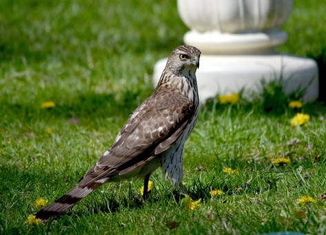 Cooper's Hawk, our population control officer, also came to visit