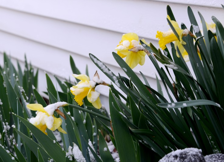 Some lucky Daffodils and Iris that are close to the house are still standing