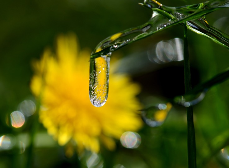 Blade of grass encased in ice with a blooming dandelion in the background