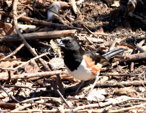 Eastern Towhee foraging for food by a brush pile