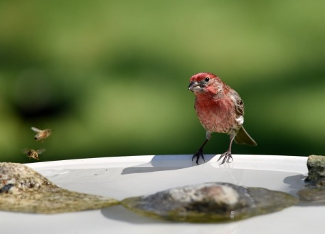 A male House Finch shares a bath with honeybees