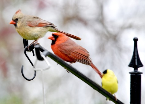 A pair of Northern Cardinals waiting their turn, with an American Goldfinch, at the feeder