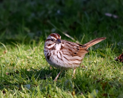 Song Sparrow has quite lovely song