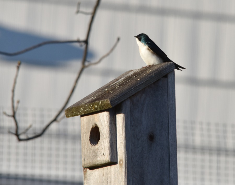 Swallow checking a prospective nest box
