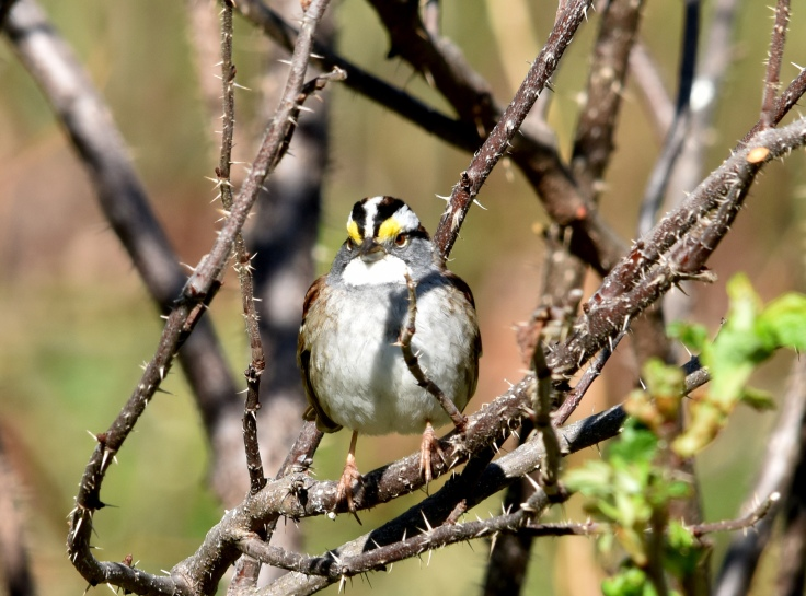 White-throated sparrow is not a bad singer either
