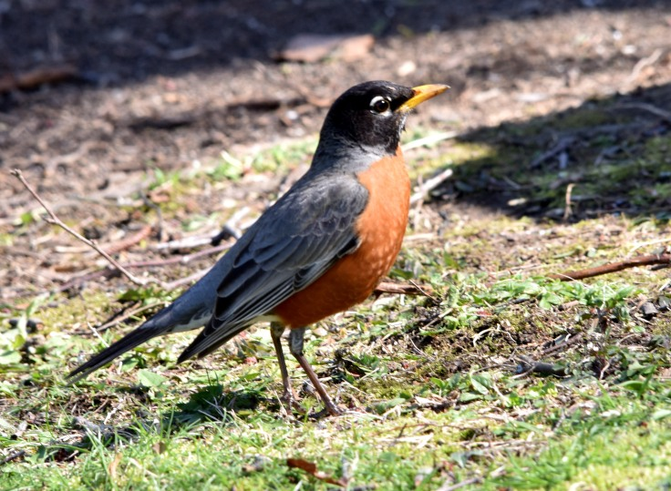American Robin, a singer and a garden helper