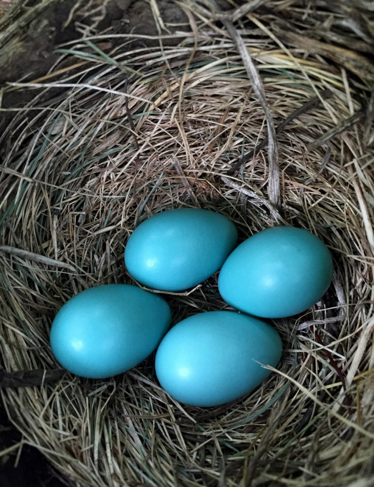 Four Robin eggs, April 26