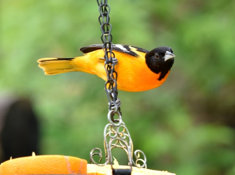 We anticipate that this summer resident- Baltimore Oriole will bring his children, that were born here, back for a red carpet treatment of fresh oranges and organic jelly.
